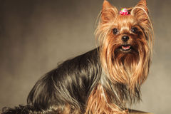 Side view of a cute yorkshire terrier puppy dog Stock Photo