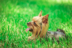 Side view of a cute yorkshire terrier puppy dog panting Royalty Free Stock Photos