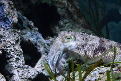 Side view of cuttlefish Royalty Free Stock Image