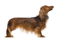 Side view of a Dachshund, 4 years old, looking away Stock Photos