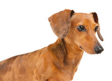 Side view of Dachshund dog Stock Photo