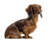 Side view of a Dachshund sitting, isolated Royalty Free Stock Photo