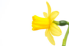 Side view of daffodil with copy space Royalty Free Stock Photo