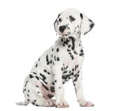 Side view of a Dalmatian puppy sitting, looking away, isolated. On white royalty free stock photography