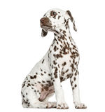 Side view of a Dalmatian puppy sitting, looking backwards Stock Photos