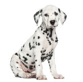Side view of a Dalmatian puppy sitting, looking at the camera. Isolated on white Royalty Free Stock Photos
