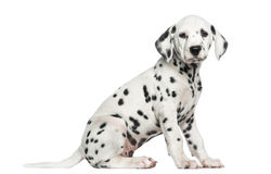 Side view of a Dalmatian puppy sitting, looking at the camera. Isolated on white royalty free stock photography