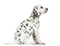 Side view of a Dalmatian puppy sitting, looking up, isolated Royalty Free Stock Image