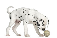 Side view of a Dalmatian puppy sniffing a tennis ball. Isolated on white stock image