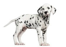 Side view of a Dalmatian puppy standing, looking away, isolated. On white royalty free stock photo