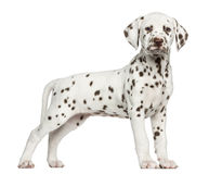 Side view of a Dalmatian puppy standing, looking at the camera Stock Photography