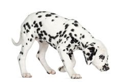 Side view of a Dalmatian puppy standing, sniffing the floor Stock Photos