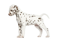 Side view of a Dalmatian puppy standing up, looking down Stock Image