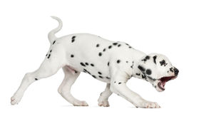 Side view of a Dalmatian puppy walking and barking, isolated. On white Stock Photography