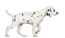 Side view of a Dalmatian puppy walking, isolated Stock Photography