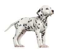 Side view of a Dalmatian standing, looking up, isolated Royalty Free Stock Photo