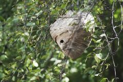 A side view of a dangerous wasp nest royalty free stock photos
