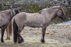 Side view of dark brown Icelandic horse Royalty Free Stock Images