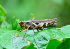 Side view  of dark brown and yellow grasshopper standing on gree Royalty Free Stock Photos