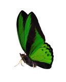 Side view of dark green isolated large butterfly Stock Photos