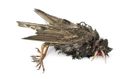 Side view of a dead Common Starling in state of decomposition. Sturnus vulgaris, isolated on white Stock Photography