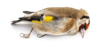 Side view of a dead European Goldfinch, Carduelis carduelis Stock Photo