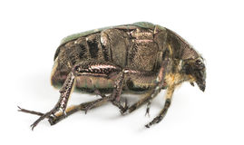 Side view of a dead Green rose chafer, Cetonia aurata, isolated Stock Image