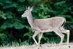 Side view of deer. royalty free stock photography