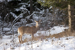 Side view of deer. Stock Image