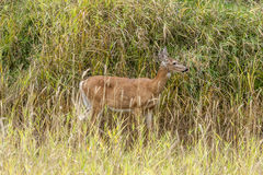 Side view of deer in grass. Royalty Free Stock Image