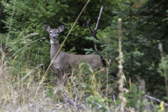 Side view of deer. Royalty Free Stock Images