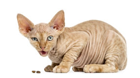 Side view of a Devon rex eating isolated on white. Side view of a Devon rex kitten eating isolated on white stock photo