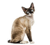 Side view of a Devon rex sitting isolated on white Royalty Free Stock Photos