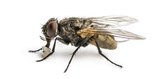 Side view of a dirty Common housefly with larva, Musca domestica Stock Photography