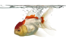 Side view of a diving lion's head goldfish Stock Image
