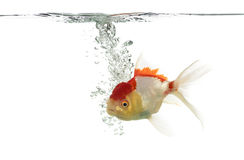 Side view of a diving lion's head goldfish Royalty Free Stock Image