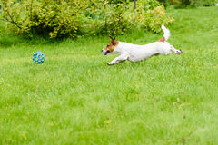 Side view of dog running and chasing a ball, playing at back yar Royalty Free Stock Photo
