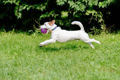 Side view of dog running on green grass playing with purple ball. White Jack Russell Terrier leaping on lawn Royalty Free Stock Photos