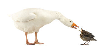 Side view of a Domestic goose and a Common Blackbird facing. Each other, communicating, isolated on white stock photos