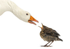Side view of a Domestic goose and a Common Blackbird facing. Each other, communicating, isolated on white royalty free stock images