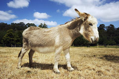Side View Of Donkey In Field Royalty Free Stock Images