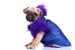 Side view of a dressed pug puppy dog Royalty Free Stock Photo