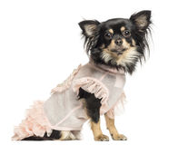 Side view of a dressed up Chihuahua facing, 22 months old Royalty Free Stock Photo