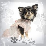 Side view of a dressed up Chihuahua sitting on designed background. 22 months old stock photo