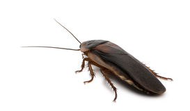 Side view of Dubia cockroach, Blaptica dubia Stock Photos