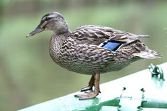 Side view of duck Royalty Free Stock Photo