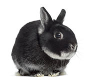Side view of a Dwarf rabbit Royalty Free Stock Image