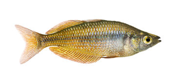 Side view of an Eastern Rainbowfish Royalty Free Stock Photos