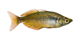 Side view of an Eastern Rainbowfish, Melanotaenia splendida splendla Stock Photo