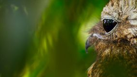 Side View of Eastern Screech-Owl stock images